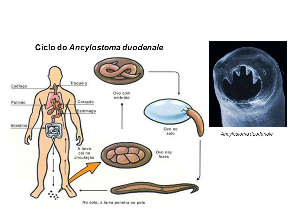 Ciclo do Ancylostoma duodenale Ancylostoma duodenale