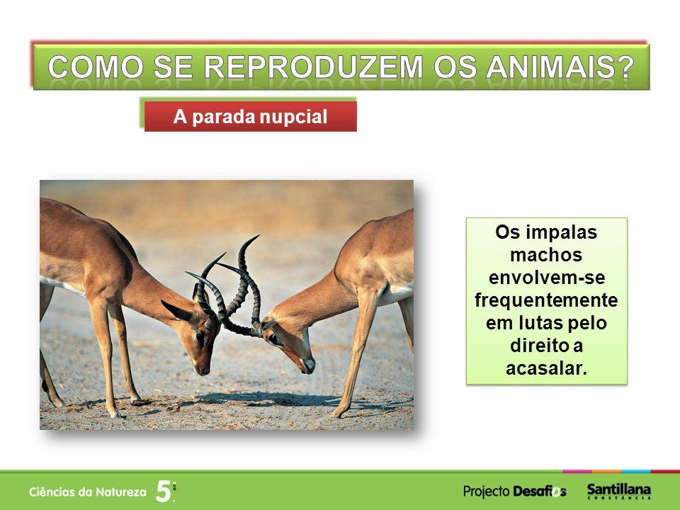 Os impalas machos envolvem-se frequentemente em lutas pelo direito a acasalar. A parada nupcial