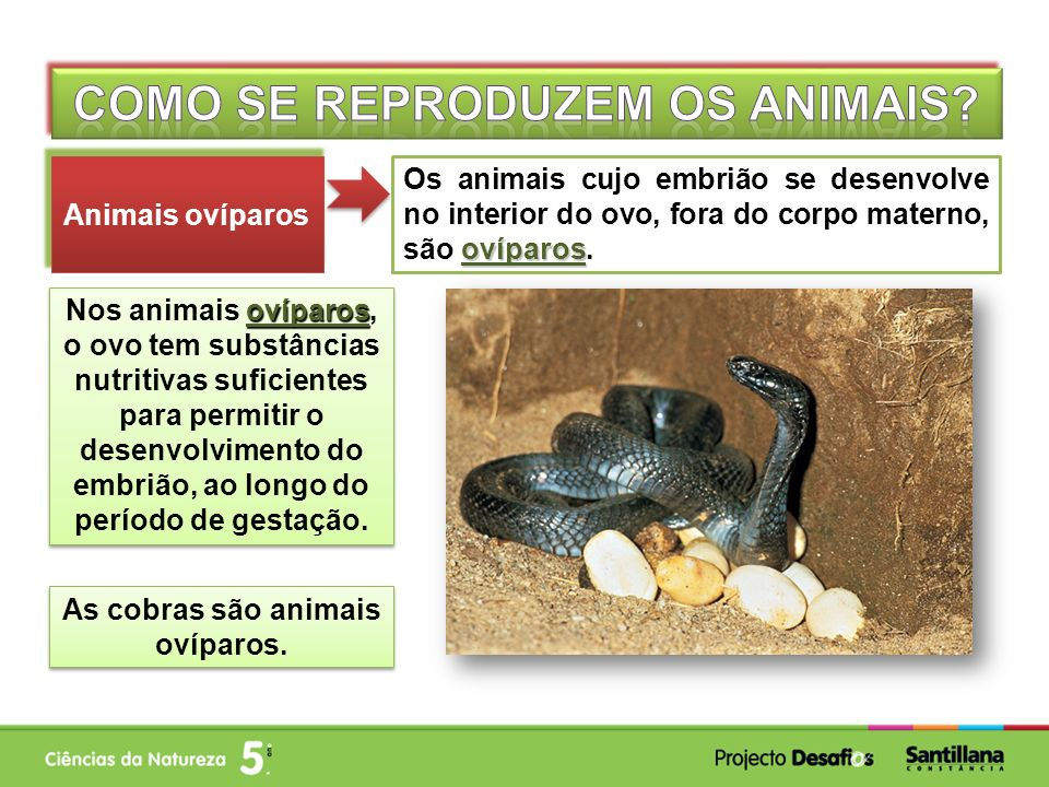 ovíparos Os animais cujo embrião se desenvolve no interior do ovo, fora do corpo materno, são ovíparos. Animais ovíparos ovíparos Nos animais ovíparos