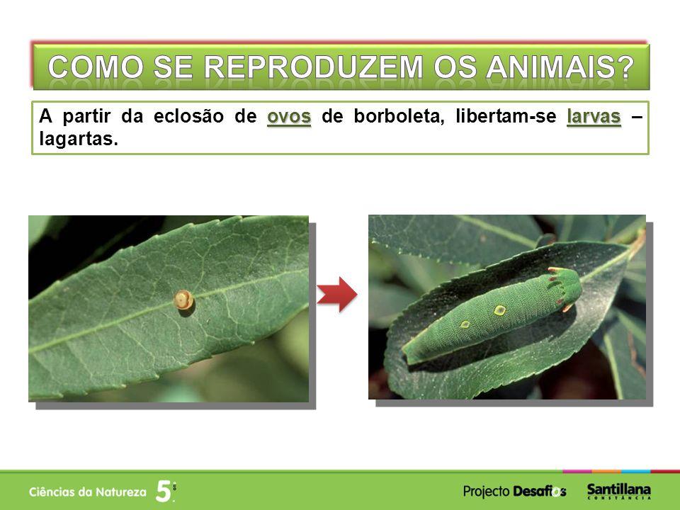 ovoslarvas A partir da eclosão de ovos de borboleta, libertam-se larvas – lagartas.