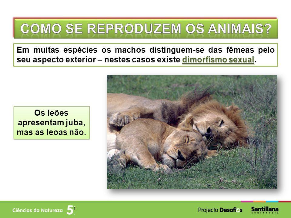 dimorfismo sexual Em muitas espécies os machos distinguem-se das fêmeas pelo seu aspecto exterior – nestes casos existe dimorfismo sexual. Os leões ap