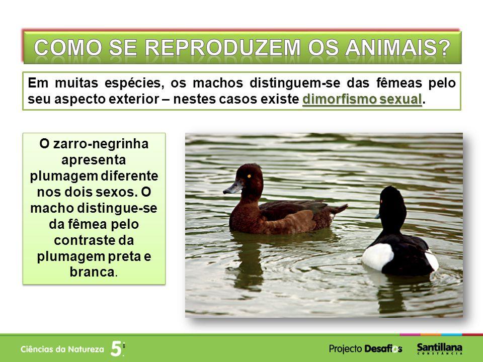 dimorfismo sexual Em muitas espécies, os machos distinguem-se das fêmeas pelo seu aspecto exterior – nestes casos existe dimorfismo sexual. O zarro-ne