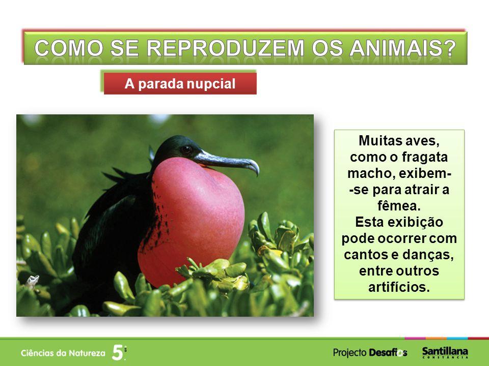 Muitas aves, como o fragata macho, exibem- -se para atrair a fêmea.