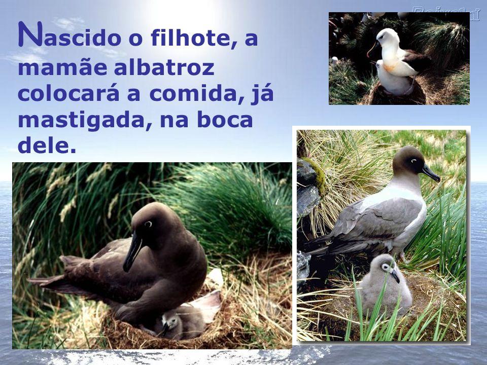 N ascido o filhote, a mamãe albatroz colocará a comida, já mastigada, na boca dele.