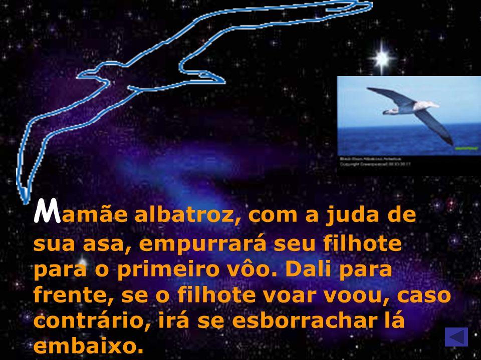 M amãe albatroz, com a juda de sua asa, empurrará seu filhote para o primeiro vôo. Dali para frente, se o filhote voar voou, caso contrário, irá se es