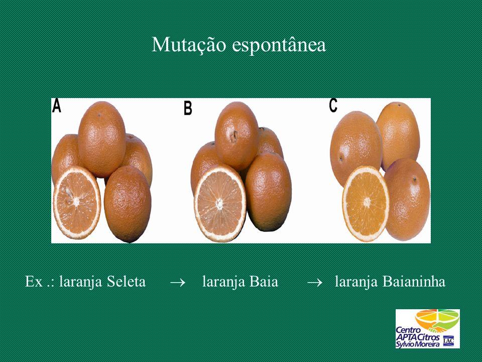Mutação espontânea Ex.: laranja Seleta laranja Baia laranja Baianinha