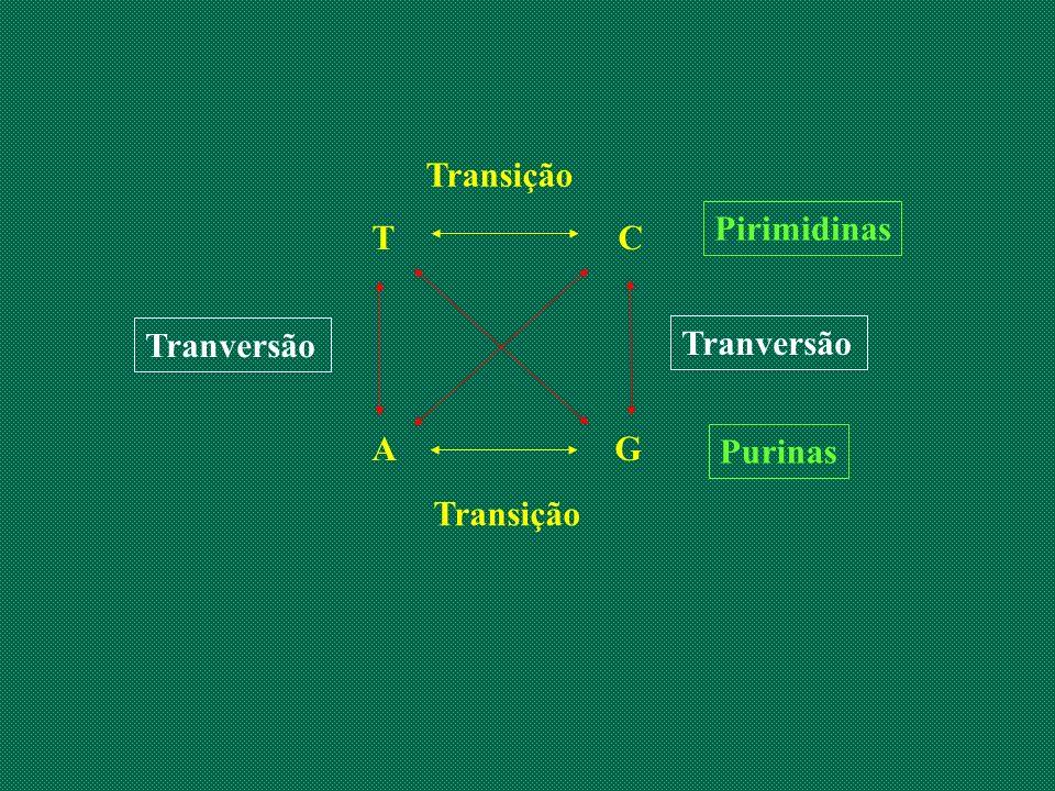 T C A G Transição Tranversão Purinas Pirimidinas