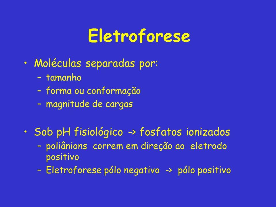 Eletroforese Moléculas separadas por: –tamanho –forma ou conformação –magnitude de cargas Sob pH fisiológico -> fosfatos ionizados –poliânions correm em direção ao eletrodo positivo –Eletroforese pólo negativo -> pólo positivo