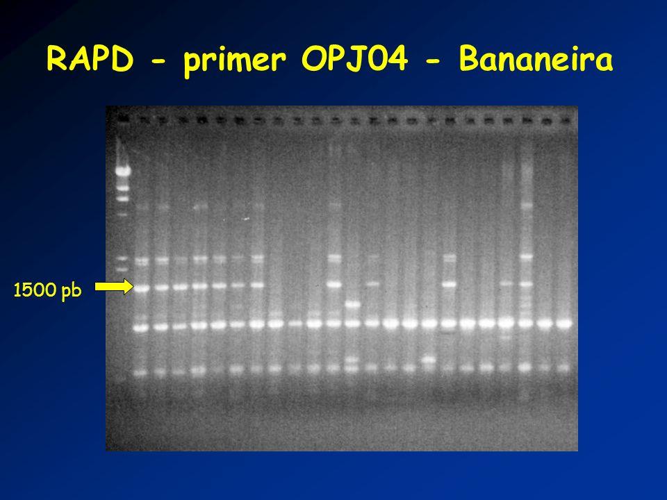 RAPD - primer OPJ04 - Bananeira 1500 pb