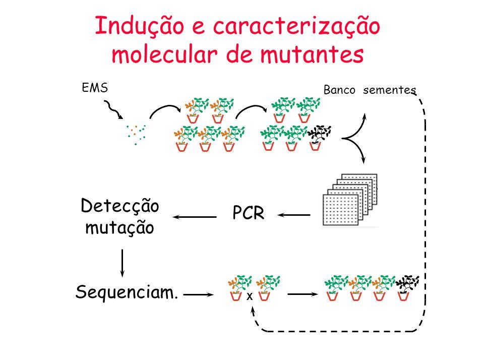 Indução e caracterização molecular de mutantes PCR Banco sementes Detecção mutação EMS X Sequenciam.