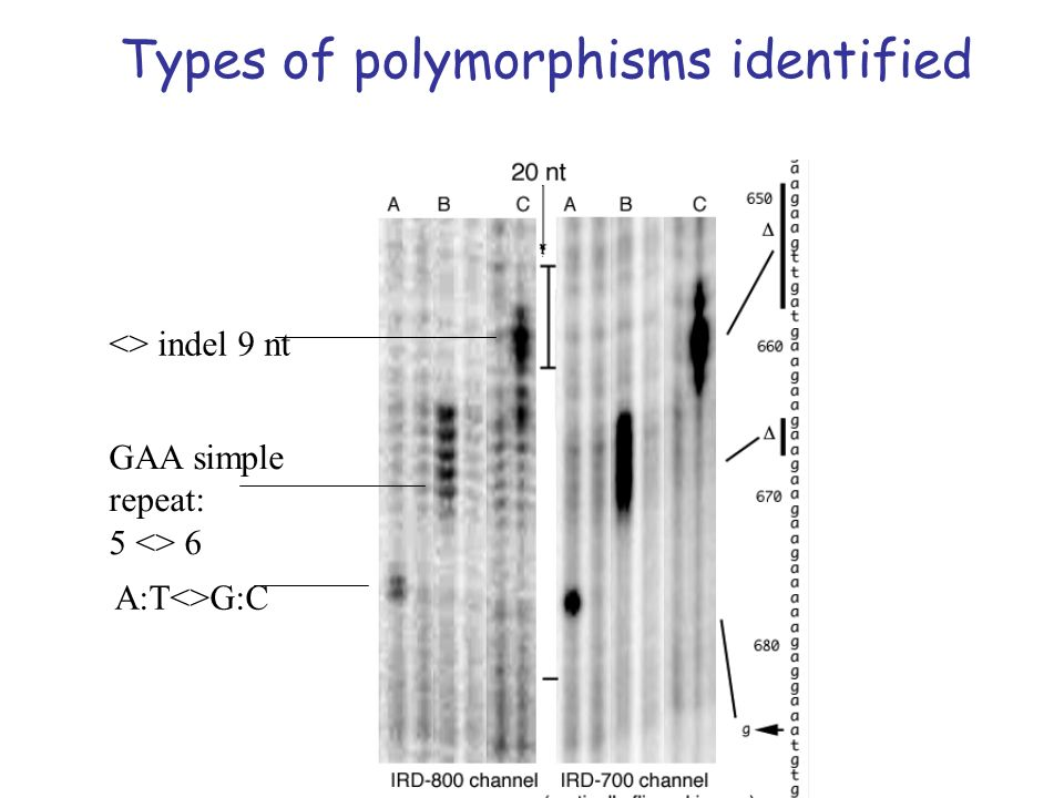 A:T<>G:C GAA simple repeat: 5 <> 6 <> indel 9 nt Types of polymorphisms identified