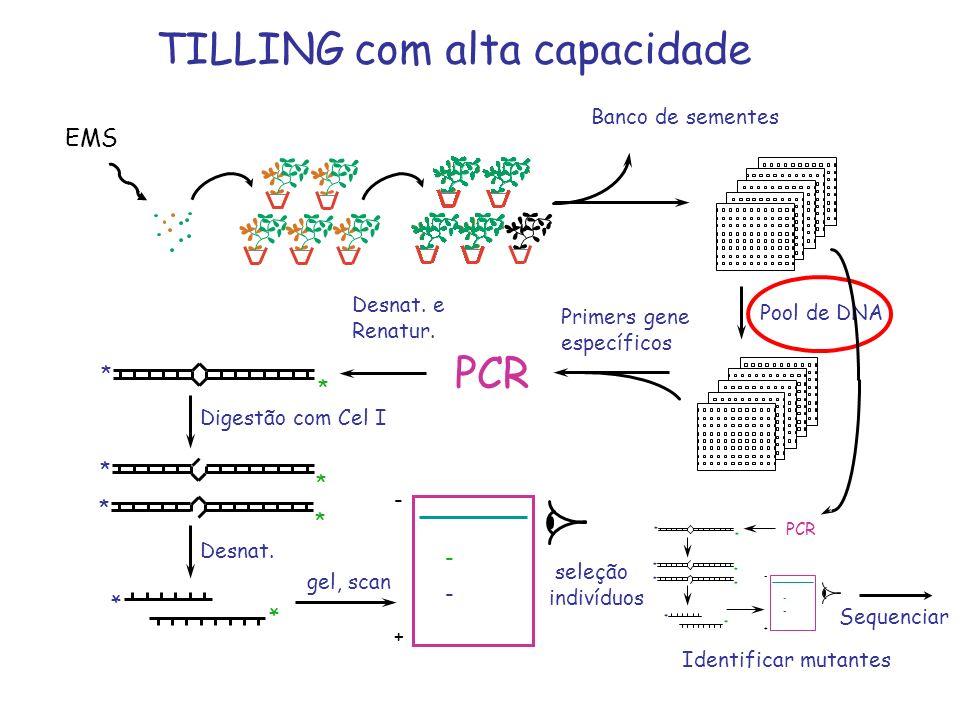 TILLING com alta capacidade Banco de sementes PCR Digestão com Cel I * * * * * * * * Desnat. - + gel, scan - - Primers gene específicos Pool de DNA EM