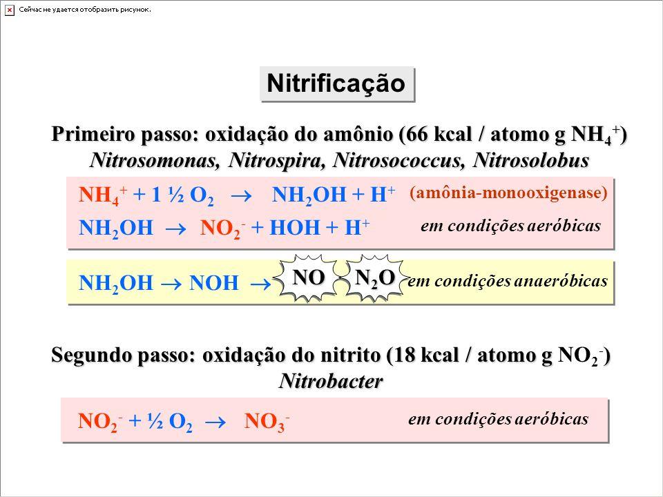 Nitrificação (amônia-monooxigenase) NH 4 + + 1 ½ O 2 NH 2 OH + H + NH 2 OH NO 2 - + HOH + H + em condições aeróbicas Primeiro passo: oxidação do amôni