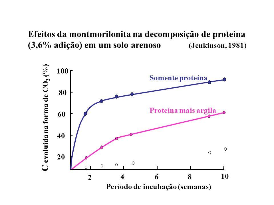 Efeitos da montmorilonita na decomposição de proteína (3,6% adição) em um solo arenoso (Jenkinson, 1981) 20 40 60 80 100 2 468 10 Período de incubação