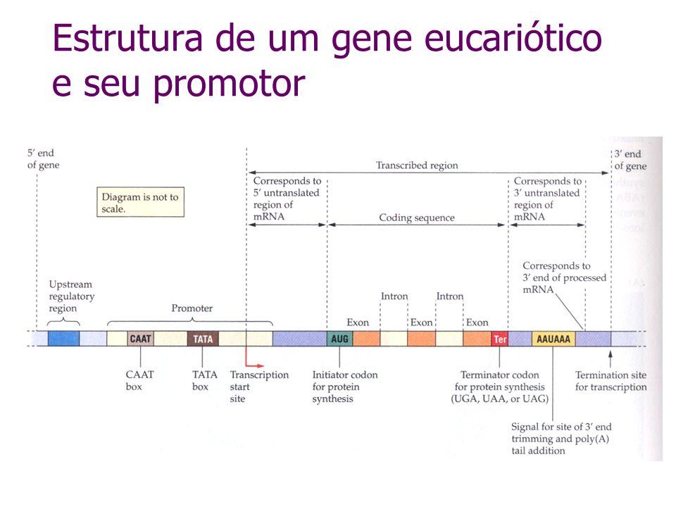 Exercício: clonagem do gene, em sentido anti-senso, da capa protéica de um vírus em vetor para transformação de plantas CaMV 35S - PCaMV 35S-T HindIII - BamHI - EcoRI - PstI - XhoI Região para inserção do transgene