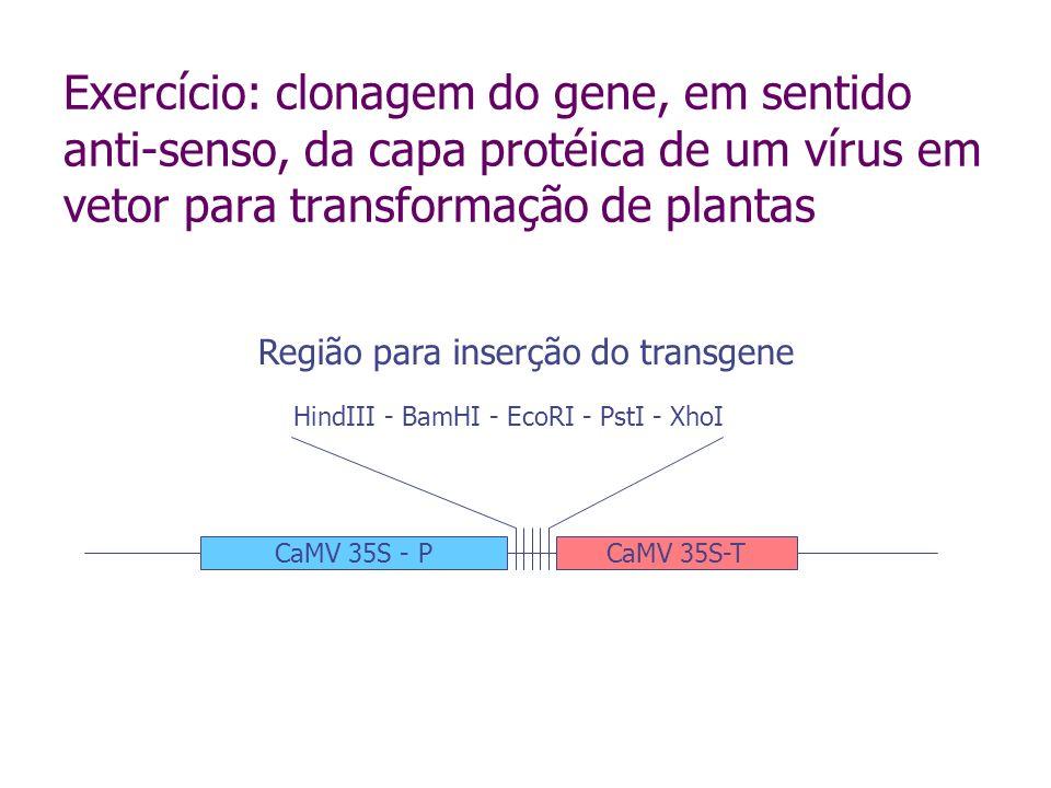 Amplificação do gene Desenho de primers para amplificação do gene por RT-PCR (o vírus é de RNA) Introdução de sítios de restrição nos primers para clonagem no vetor Verificar se as enzimas escolhidas não clivam o gene amplificado Verificar se as enzimas podem ser utilizadas concomitantemente Equilibrar as temperaturas de anelamento dos primers