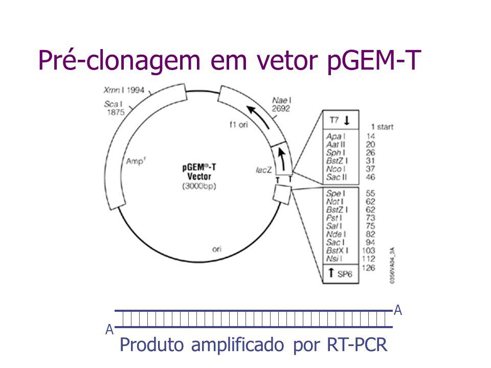 Transferência do gene do vetor de clonagem para o vetor de tranformação Eco RI Hind III Eco RI Hind III
