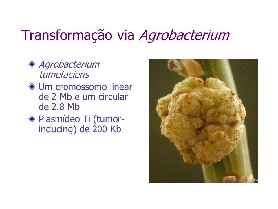 Agrobacterium tumefaciens Um cromossomo linear de 2 Mb e um circular de 2.8 Mb Plasmídeo Ti (tumor- inducing) de 200 Kb Transformação via Agrobacterium