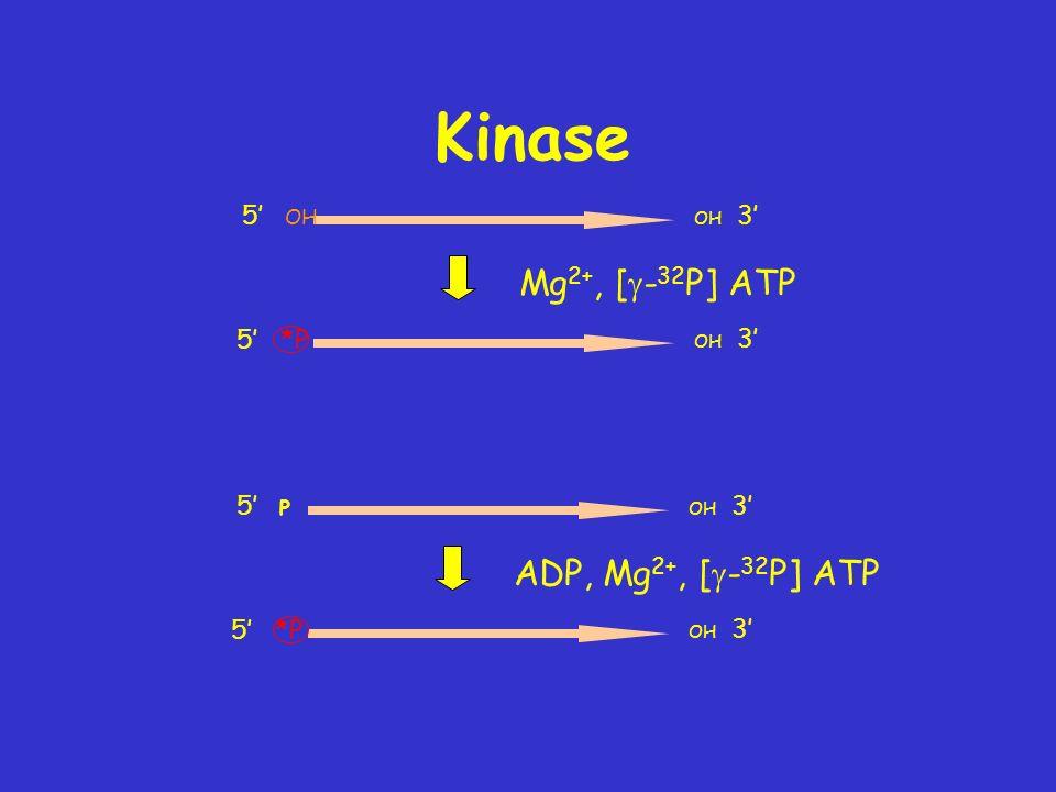 Kinase 5 *P OH 3 Mg 2+, [ - 32 P] ATP 5 OH OH 3 5 *P OH 3 ADP, Mg 2+, [ - 32 P] ATP 5 P OH 3
