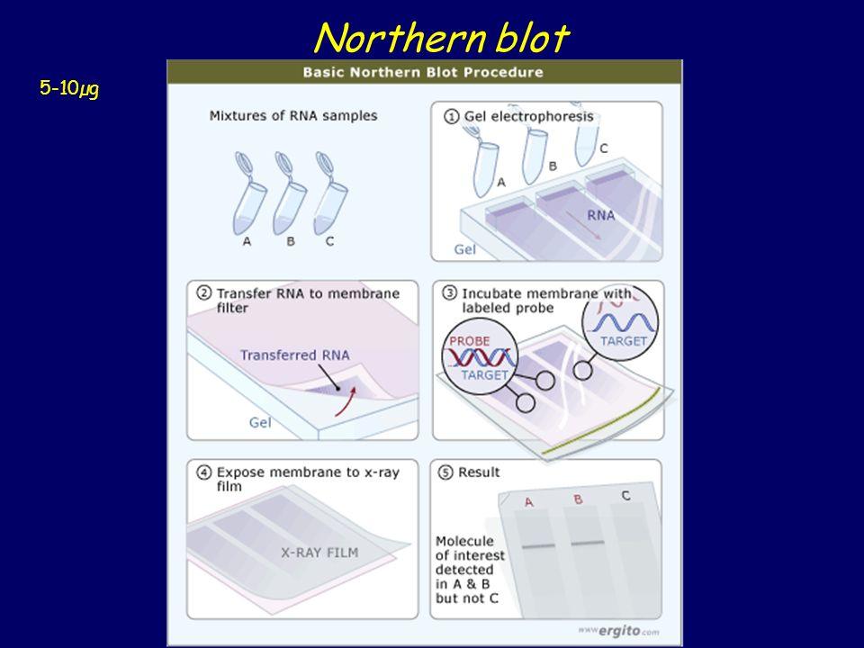 Northern blot 5-10µg