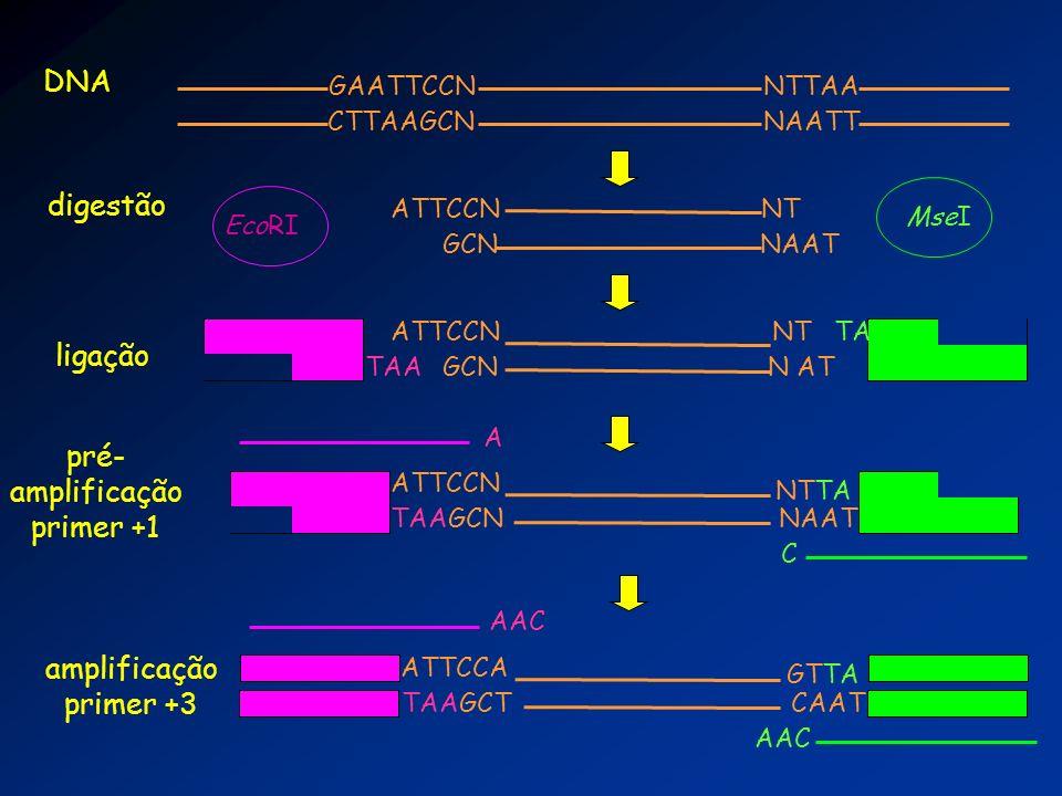 GAATTCCN CTTAAGCN NTTAA NAATT ATTCCN GCN NT NAAT DNA digestão EcoRI MseI ATTCCN GCN NT N ATTAA ligação TA ATTCCN TAAGCN NTTA NAAT pré- amplificação pr