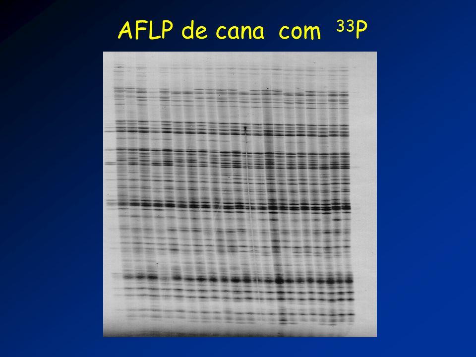 AFLP de cana com 33 P
