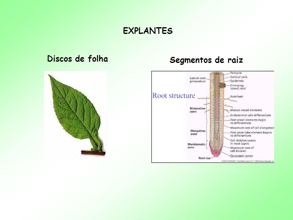 EXPLANTES Discos de folha Segmentos de raiz