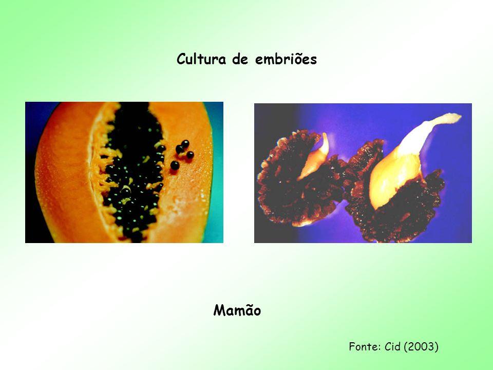 Cultura de embriões Mamão Fonte: Cid (2003)