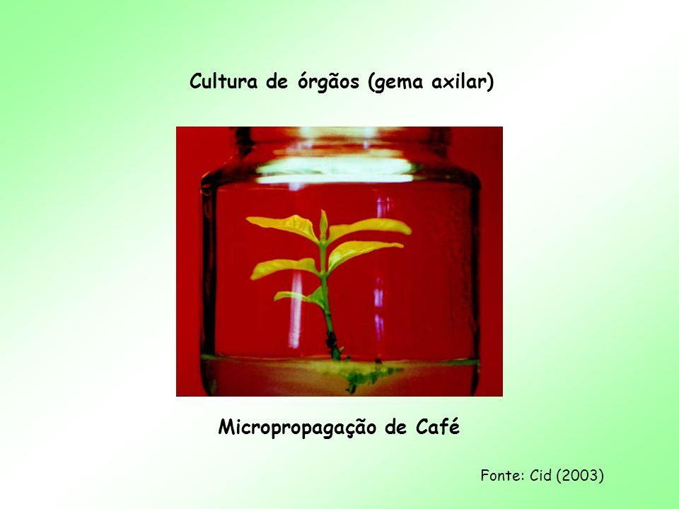 Cultura de órgãos (gema axilar) Micropropagação de Café Fonte: Cid (2003)