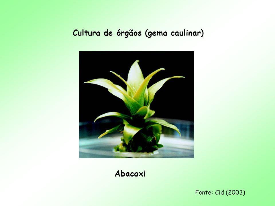 Cultura de órgãos (gema caulinar) Abacaxi Fonte: Cid (2003)