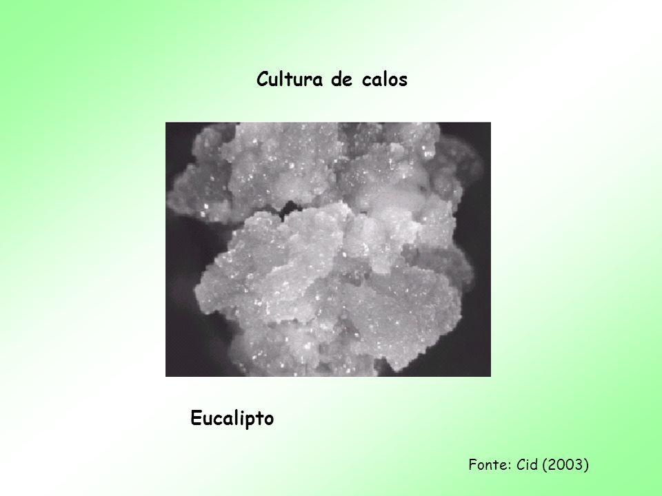 Cultura de calos Eucalipto Fonte: Cid (2003)