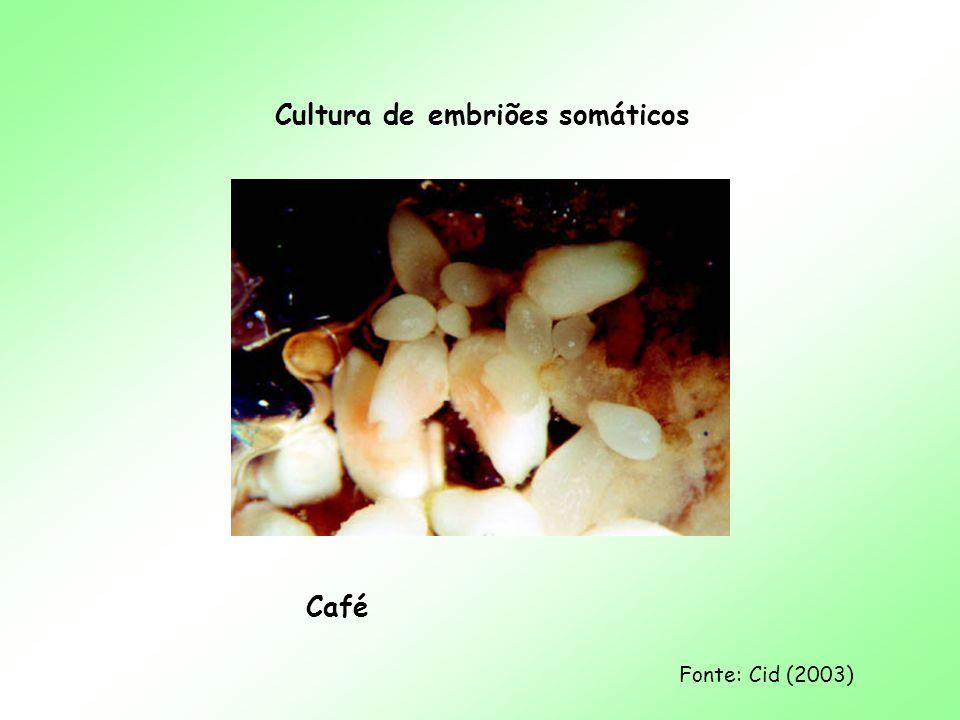 Cultura de embriões somáticos Café Fonte: Cid (2003)
