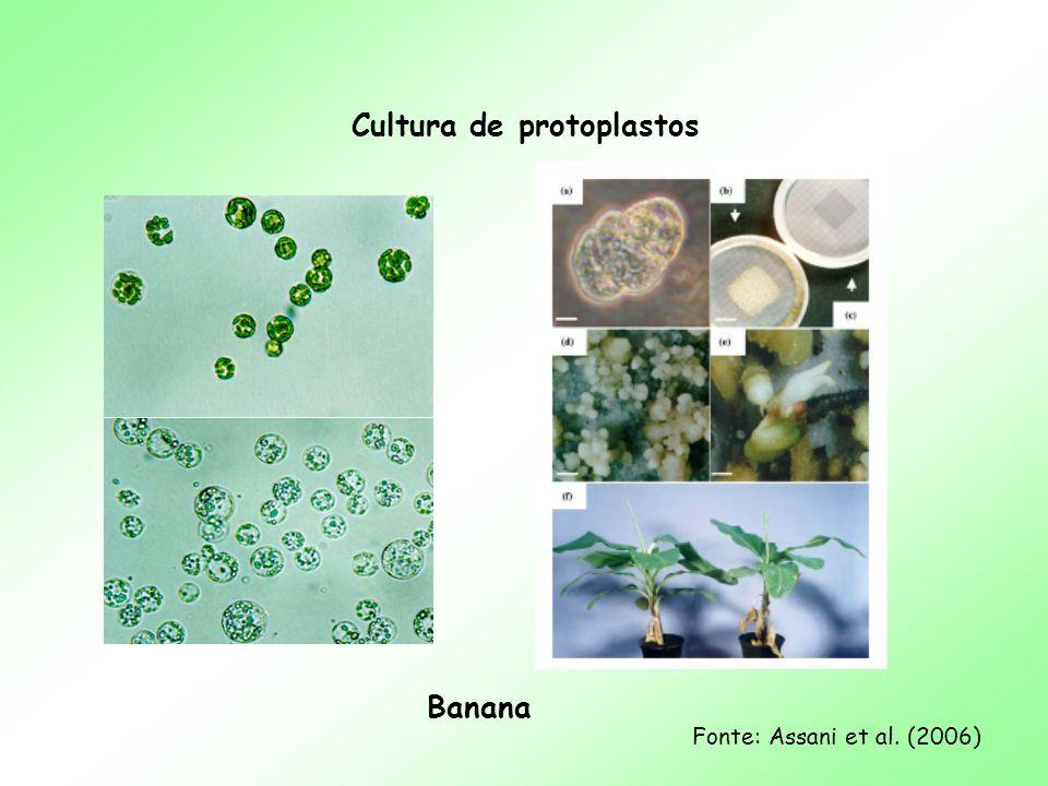 Cultura de protoplastos Banana Fonte: Assani et al. (2006)