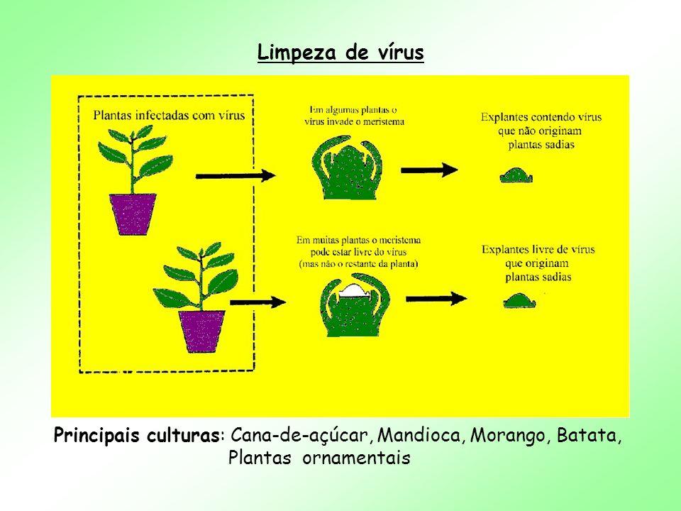 Limpeza de vírus Principais culturas: Cana-de-açúcar, Mandioca, Morango, Batata, Plantas ornamentais