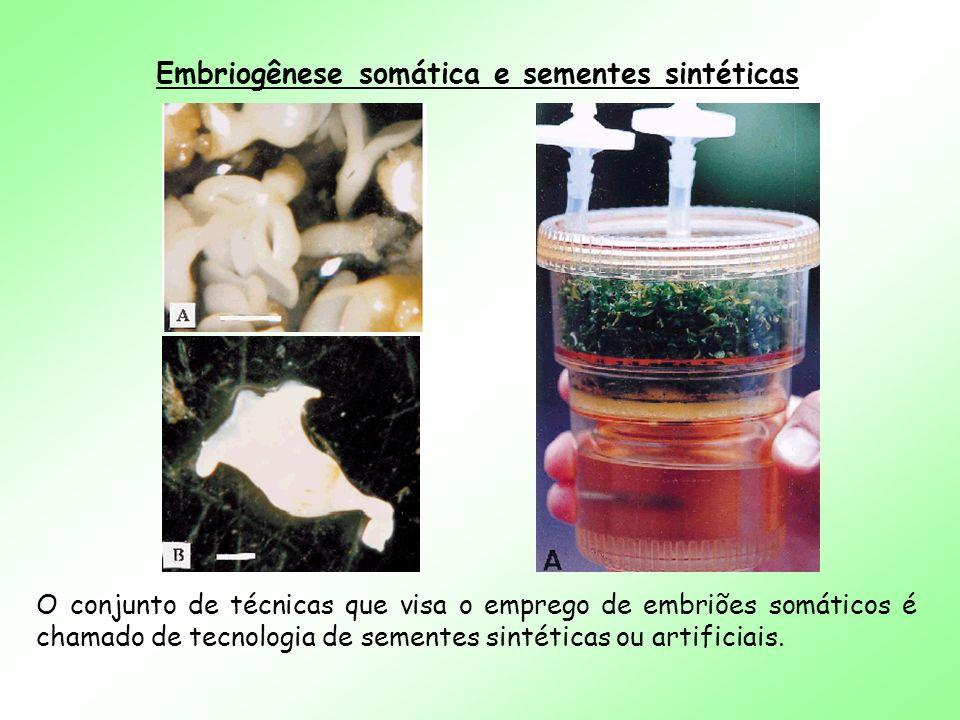 Embriogênese somática e sementes sintéticas O conjunto de técnicas que visa o emprego de embriões somáticos é chamado de tecnologia de sementes sintét