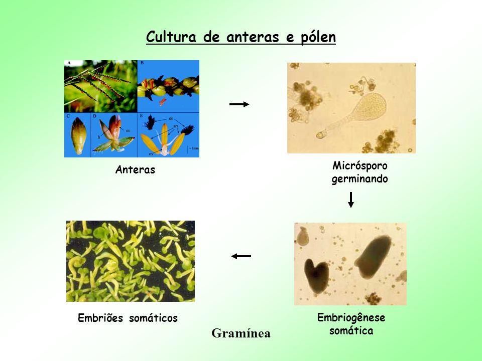 Cultura de anteras e pólen Anteras Micrósporo germinando Embriogênese somática Embriões somáticos Gramínea