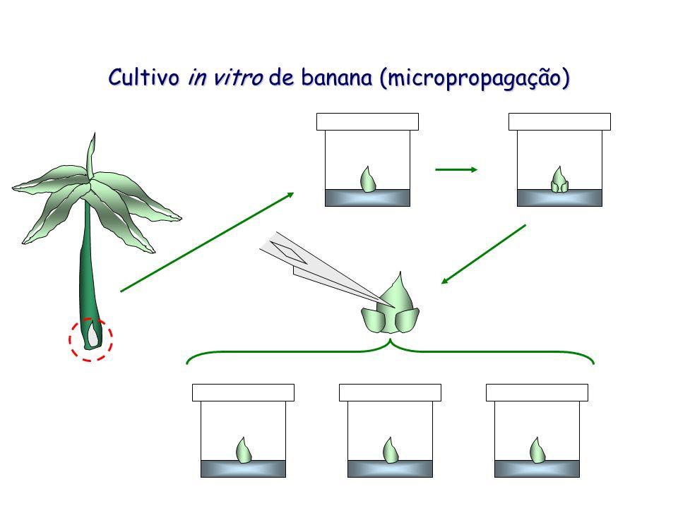 Cultivo in vitro de banana (micropropagação)