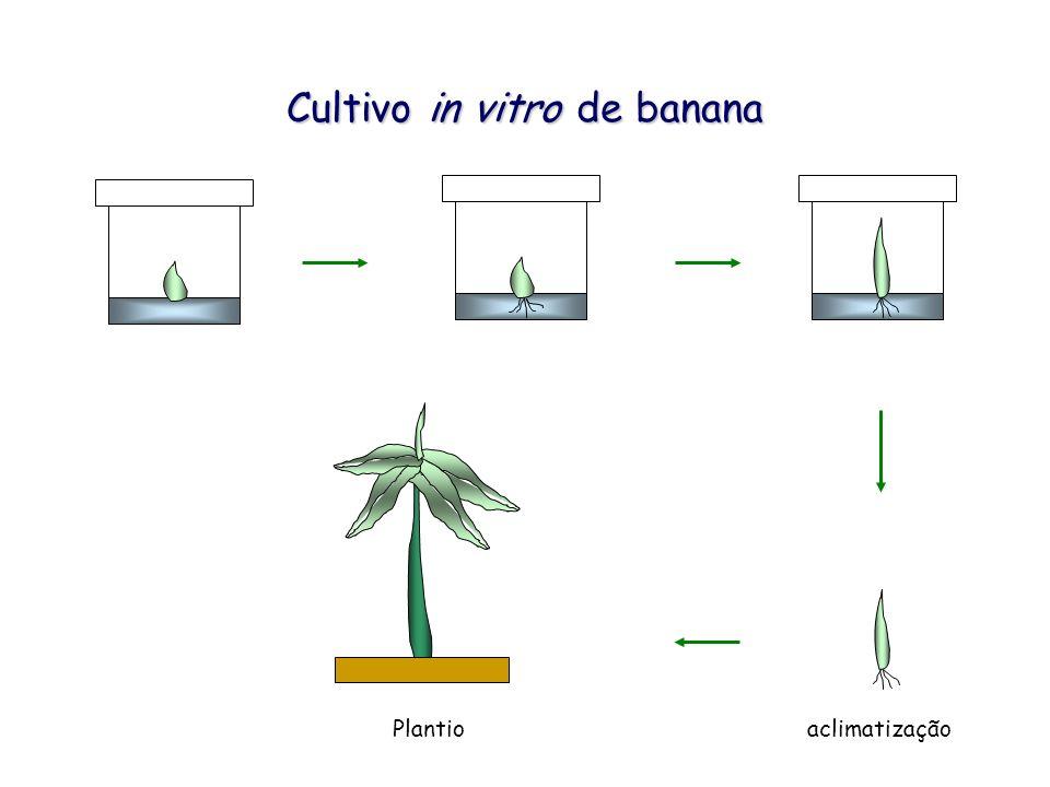 Cultivo in vitro de banana aclimatizaçãoPlantio