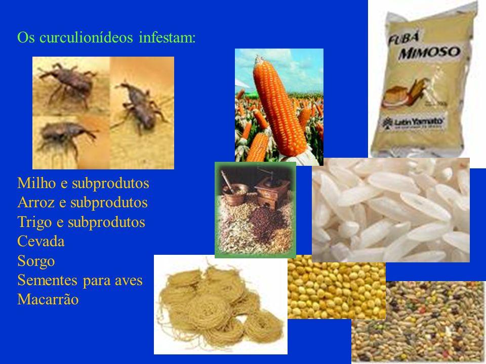 Os curculionídeos infestam: Milho e subprodutos Arroz e subprodutos Trigo e subprodutos Cevada Sorgo Sementes para aves Macarrão