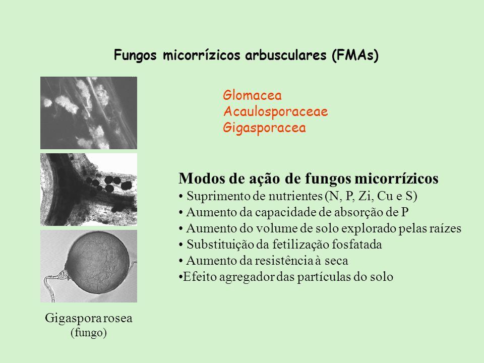 Fungos micorrízicos arbusculares (FMAs) Glomacea Acaulosporaceae Gigasporacea Gigaspora rosea (fungo) Modos de ação de fungos micorrízicos Suprimento