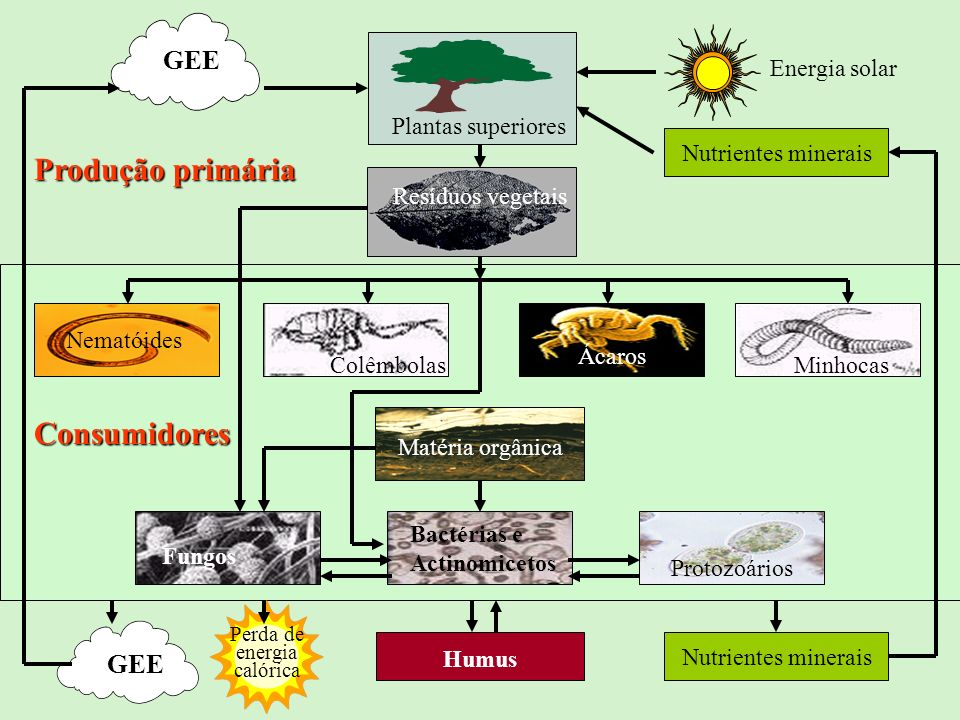 Plantas superiores GEE Energia solar Resíduos vegetais Nematóides Ácaros Minhocas Matéria orgânica Protozoários Bactérias e Actinomicetos GEE Humus Nu