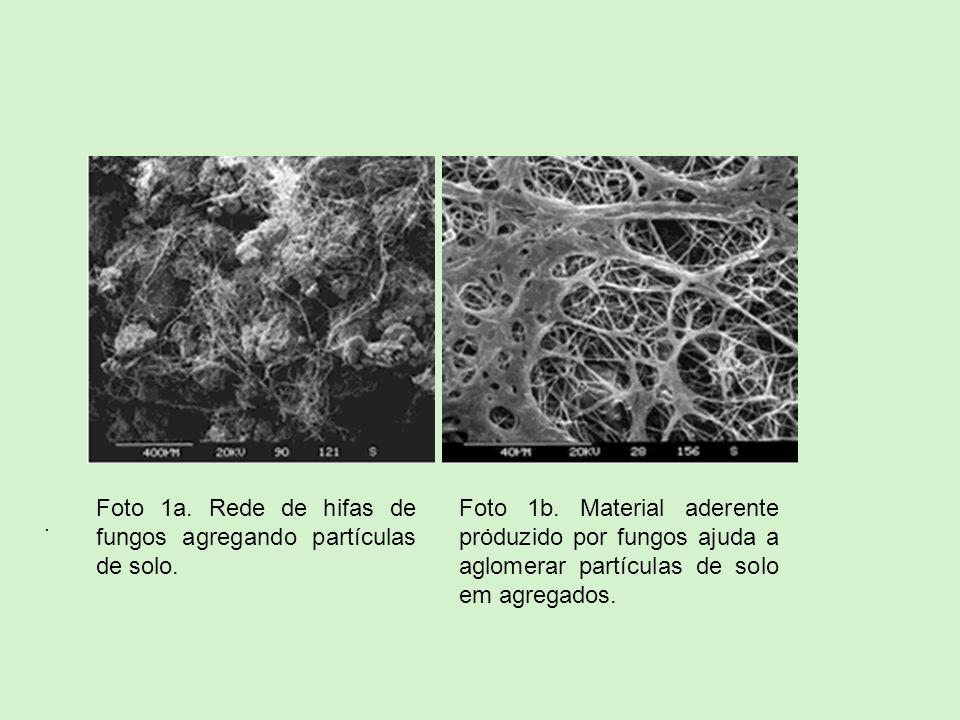 .. Foto 1b. Material aderente produzido por fungos ajuda a aglomerar partículas de solo em agregados. Foto 1a. Rede de hifas de fungos agregando partí