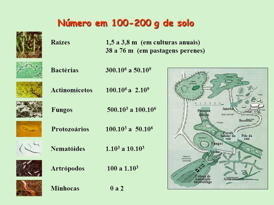 Raízes 1,5 a 3,8 m (em culturas anuais) 38 a 76 m (em pastagens perenes) Bactérias 300.10 6 a 50.10 9 Actinomicetos 100.10 6 a 2.10 9 Protozoários 100