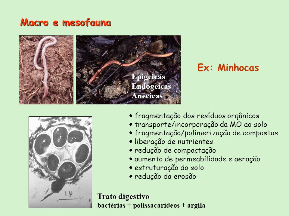 EpigeicasEndogeicasAnécicas Ex: Minhocas Trato digestivo bactérias + polissacarídeos + argila fragmentação dos resíduos orgânicos transporte/incorpora