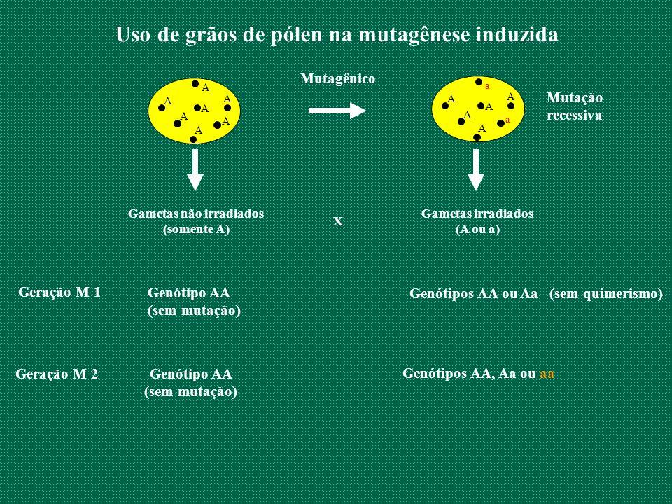 Uso de grãos de pólen na mutagênese induzida A A A A A A A A A A a A a A Gametas não irradiados (somente A) X Geração M 1 Genótipo AA (sem mutação) Ge