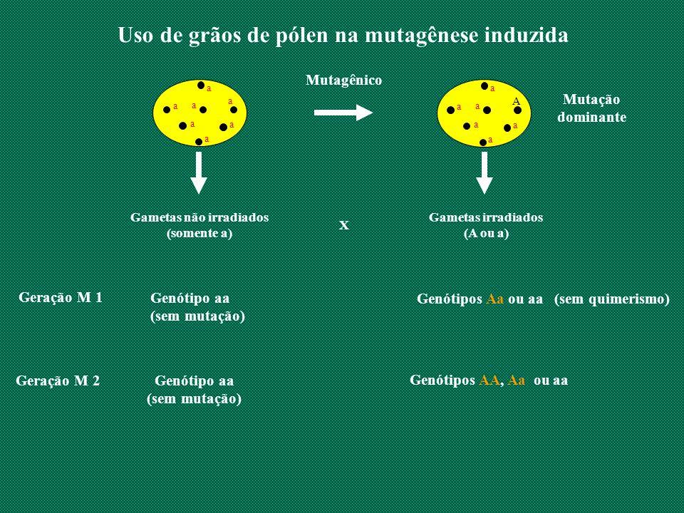 Uso de grãos de pólen na mutagênese induzida Gametas não irradiados (somente a) X Geração M 1 Genótipo aa (sem mutação) Geração M 2 Genótipo aa (sem m