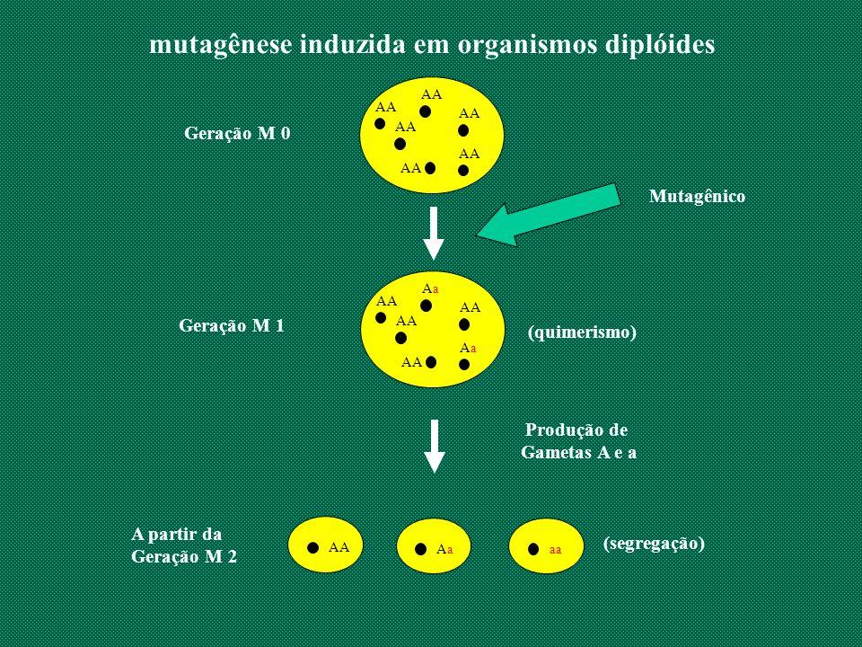 mutagênese induzida em organismos diplóides AA (quimerismo) Produção de Gametas A e a AA Geração M 0 Mutagênico AA AaAa AaAa Geração M 1 (segregação)