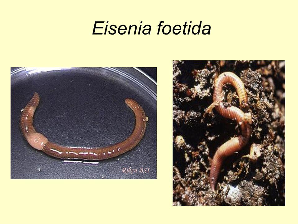 Eisenia foetida