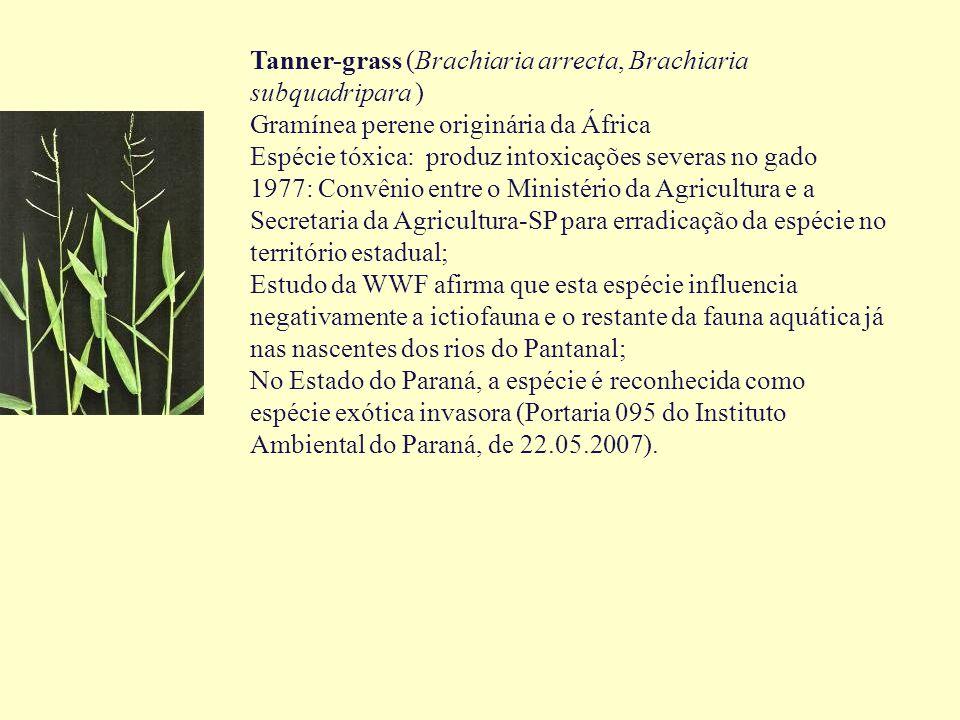 Tanner-grass (Brachiaria arrecta, Brachiaria subquadripara ) Gramínea perene originária da África Espécie tóxica: produz intoxicações severas no gado