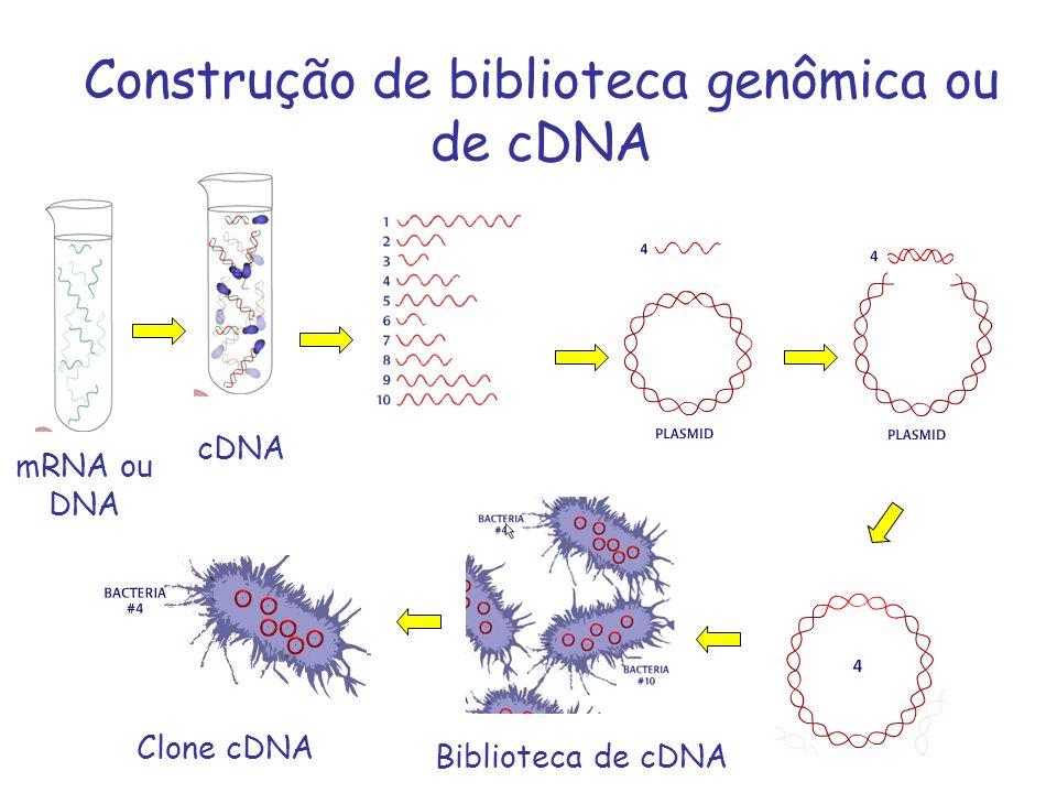 Construção de biblioteca genômica ou de cDNA mRNA ou DNA cDNA Clone cDNA Biblioteca de cDNA